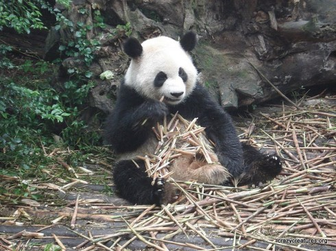 """Giant Panda Eating Bamboo"" by Crazy Creatures"