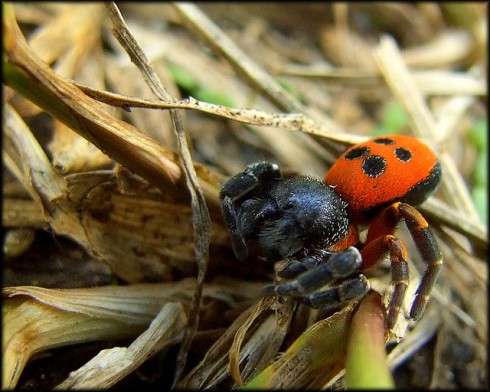 """Ladybird Spider in Germany"" by ufoncz"