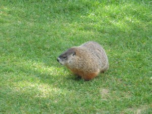 """Groundhog in Ottawa, Ontario"" image by joy_acharjee"