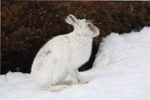 """Mountain Hare, Lepus timidus"" by Shandchem"