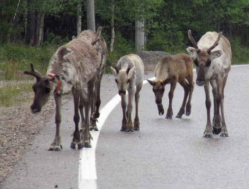 """""""Reindeer Rush Hour in Kuusamo, Lappland"""" by RukaKuusamo.com"""